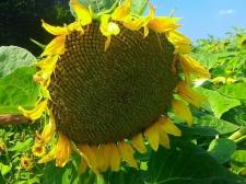 Семена подсолнечника Лимит (Эконом)