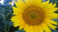 Семена подсолнечника Днестер (NS) стандарт