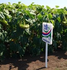 Семена подсолнечника Меридиан (NS) стандарт