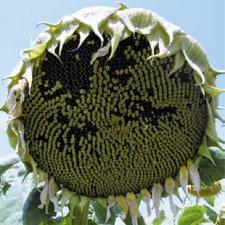 Семена подсолнечника Альзан, экстра