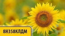 Семена подсолнечника 8Н358КЛДМ, Евро-Лайтнинг®