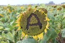 Семена подсолнечника Антей, экстра, стойкий к гранстару