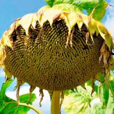 Семена подсолнечника Анцилла, ІСЕА (элита)