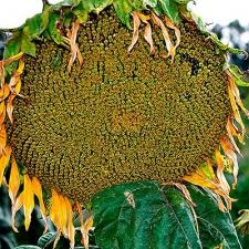 Семена подсолнечника Аракар (Эконом)