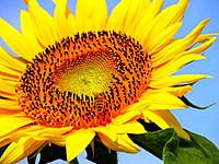 Семена подсолнечника Арлет, ПАНАМ Семанс (Франция)