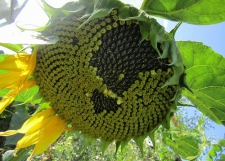 Семена подсолнечника Барса, толерантный к гранстару, эконом