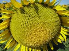 Семена подсолнечника Бонд, толерантный к гранстару, эконом