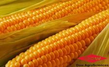 Семена кукурузы Dow Agro ДС0479Б, ФАО 240