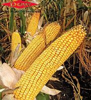 Семена кукурузы Dow Agro ДС1202Б, ФАО 260