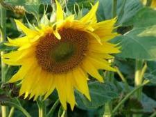 Семена подсолнечника ЕС Савана, Евралис Семенс (импорт)