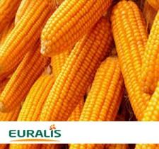 Семена кукурузы ЕС Сириус (Украина), ФАО 200