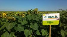 Семена подсолнечника ЕС Белла, Евралис Семенс (Украина, импорт)