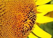 Семена подсолнечника ЕС Вероника, Евралис Семенс (импорт)