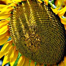 Семена подсолнечника Флорими (Эконом)