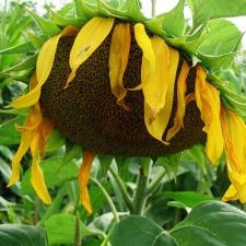 Семена подсолнечника Фрагмент (Эконом)