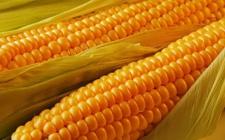 Семена кукурузы СОЛОНЯНСКИЙ, 298 СВ (ФАО 310)