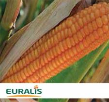 Семена кукурузы ЕС Конкорд (Украина), ФАО 250
