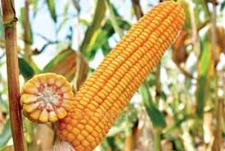 Кукуруза МТ 261, ФАО 250