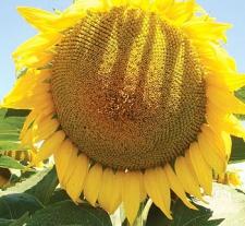Семена подсолнечника LG 5452 HO CL, LIMAGRAIN