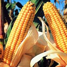 """Семена кукурузы """"ЛЮБАВА 279 МВ"""""""