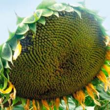Семена подсолнечника Мишель, ІСЕА (элита)