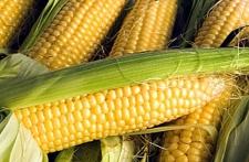 Семена кукурузы Моника 350 МВ, Институт сельского хозяйства степной зоны НААН Украины
