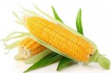 Семена кукурузы ЕС Москито (Украина), ФАО 350