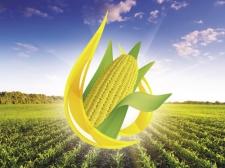 Семена кукурузы СИ Талисман, ФАО 200