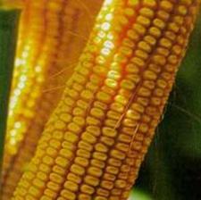 """Семена кукурузы """"НС - 2612"""" НЕРТУС"""