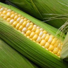 """Семена кукурузы """"НС - 3033"""" НЕРТУС"""