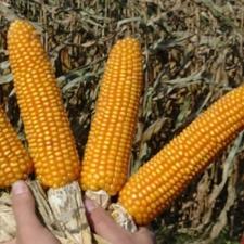 Семена кукурузы НС 2014 (NS), ФАО 260