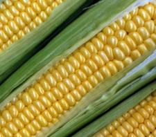 Семена кукурузы Почаевский 190МВ, ФАО 190