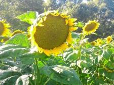 Семена подсолнечника Рими, Евро-Лайтнинг®, урожай 2016 г.