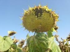 Семена подсолнечника Прими (стандарт), Евро-Лайтнинг®