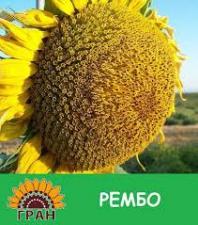 Семена подсолнечника Рембо, толерантный к гранстару, эконом