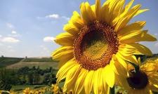 Семена подсолнечника Украинский F1, экстра