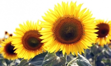 Семена подсолнечника Заграва, стандарт