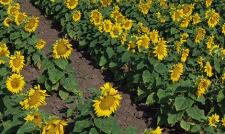 Семена подсолнечника Аркансель, стандарт