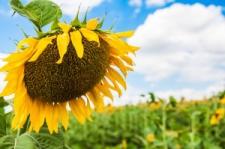 Семена подсолнечника Солтан, толерантный к гранстару, стандарт