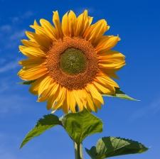 Семена подсолнечника Сонячний настрій, стандарт, гранстар