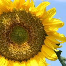 Семена подсолнечника Украинское солнышко, эконом