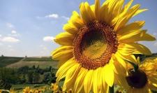Семена подсолнечника Украинский F1, эконом