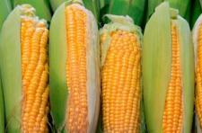 Семена кукурузы Яровец 243 МВ, среднеранний (ФАО 240)