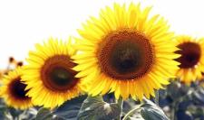 Семена подсолнечника Заграва, экстра